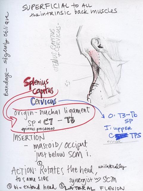 Splenius Sketch