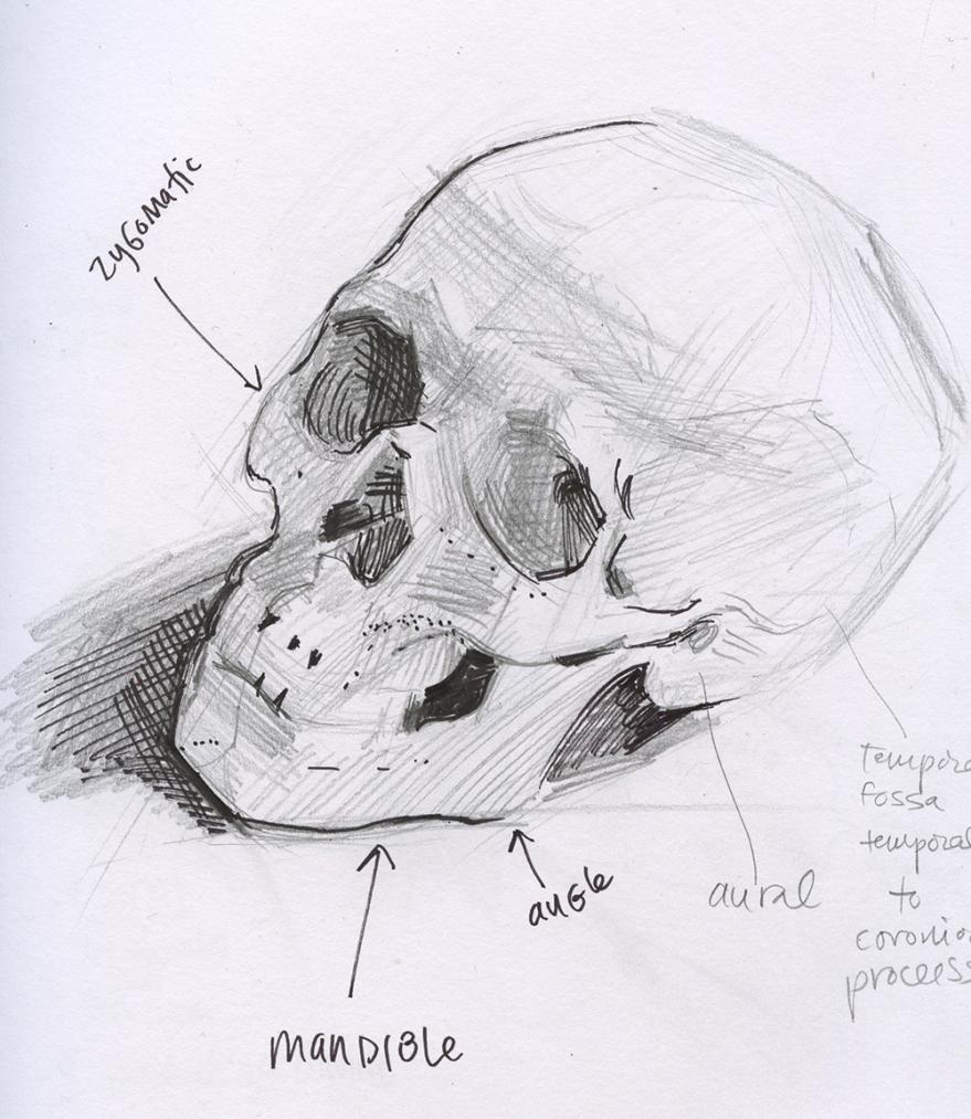 kinesiology sketch skull